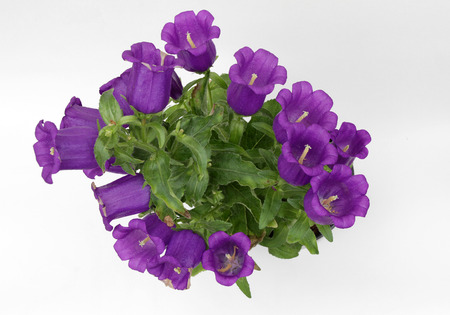 Campanula. Blooming violet Bellflowers isolated on white background. Blossom of Plant Campanula, copy space flower photo. Floral pattern, flowers background