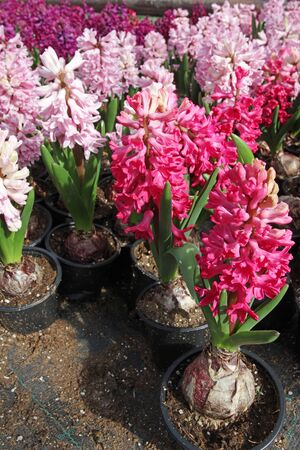 Hyacinth. Field of colorful spring flowers hyacinths plants  in greenhouse on sunlight  for sale. Background texture photo of hyacinth flowers, floral pattern