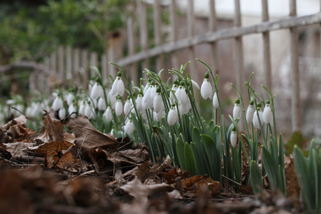 Galanthus nivalis. Snowdrop lentebloemen. Sneeuwklokje of Galanthus. Het de bloemsneeuwklokje van de lente is de eerste bloem aan het eind van de winter en het begin van de lente. Diagonale samenstelling, selectieve nadruk Stockfoto