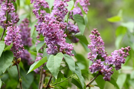 Lilac. Lilacs, syringa or syringe. Colorful purple lilacs blossoms with green leaves. Floral pattern. Lilac background texture. Lilac wallpaper. No sharpen.