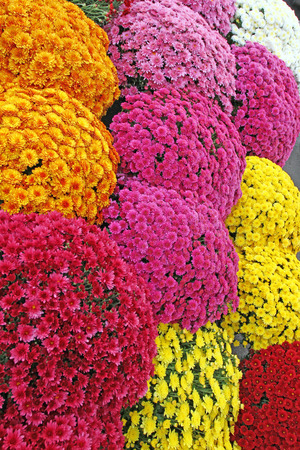 A bouquet of beautiful chrysanthemum flowers outdoors.