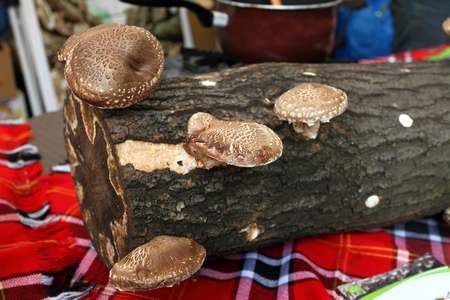 Shiitake mushroom. Cultivation and growth of the Shiitake mushrooms in Japanese technology on oak logs. Banco de Imagens
