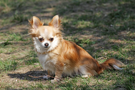 Longhair Chihuahua dog in green spring grass. Golden Longhair chihuahua playing outdoor in the park. Nealthy dog with anti-parasitic strap protect from fleas, ticks, lice and other. Dog wallpaper.