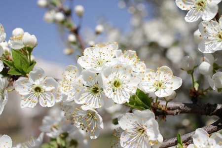 White Blossoms Against Sky At Sunrise. Spring Blooming. Orchards are blooming at springtime. Nature blossoms background texture. Floral pattern. Copy space. Natural wallpaper.