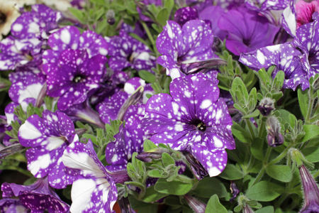 Petunias,colorful petunia flower (Petunia hybrida). Floral pattern. Spring and summer flowers petunia background texture.