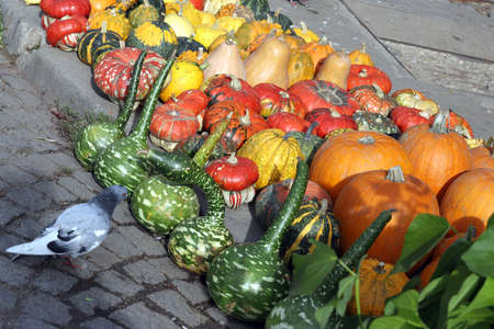 Colorful ornamental pumpkins, gourds and squashes in the street with pigeon, for Halloween holiday.