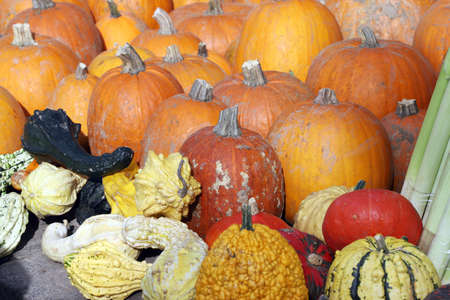 Orange and ornamental pumpkins and squashes for Halloween holiday.