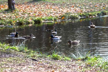 Mallard ducks are swimming in a lake or a pond. Archivio Fotografico
