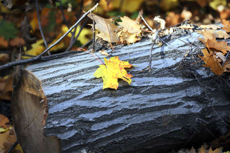 Contrasting yellow maple leaf on a log. Autumn background.