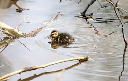 Baby ducks, Mallard Ducklings in nature.