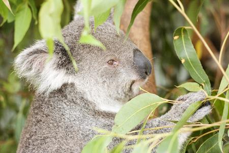 georgeous: Koala