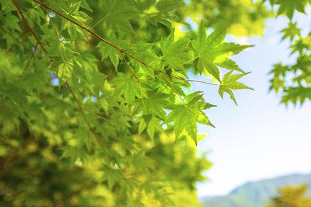 Fresh green of Maple in Japan