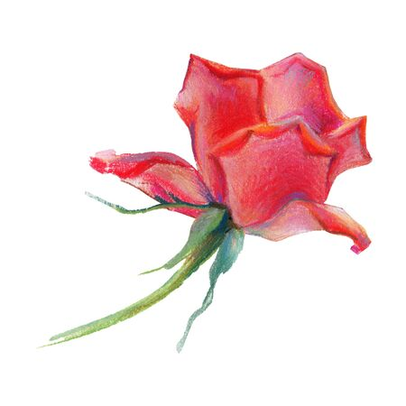 Drawing hand on a white background. Illustration of a red rose. Pastel. Flower. Stock Photo