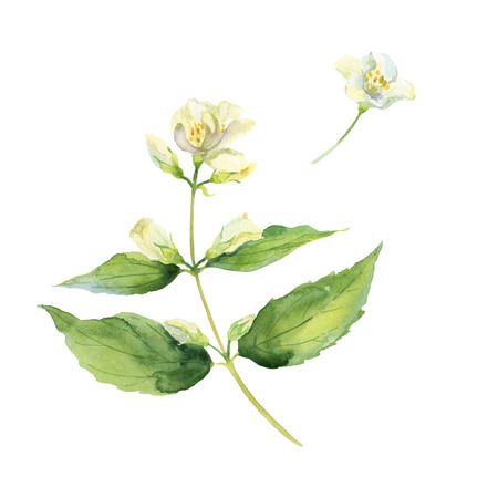 Fragrant and fresh jasmine branch. Watercolor illustration. Isolated on white background. Banco de Imagens
