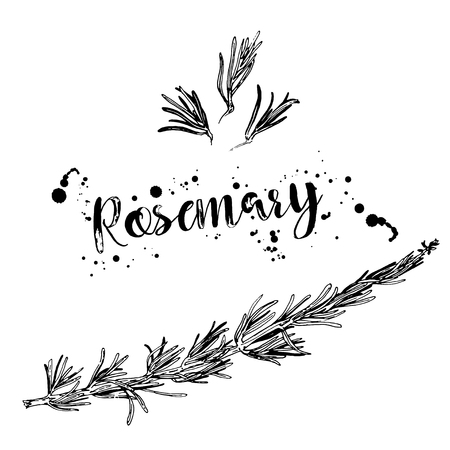 Black and white drawing of a branch of rosemary. Vector. Line art. Hand drawn illustration. Black elements isolated on white background. Menu design element. Stylized graphic.