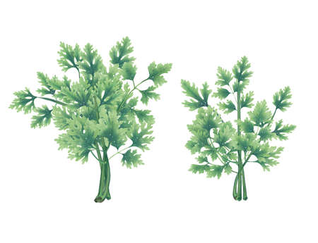 Illustration of two bunches of green Pars isolated on white background. Stock Photo