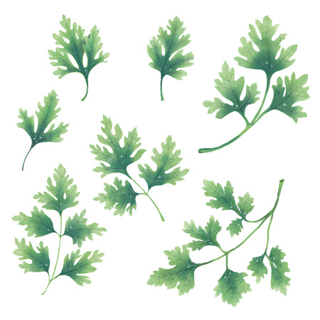 A set of twigs and leaves of parsley. Isolated illustration on white background.