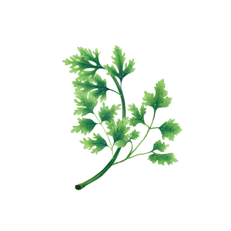 Isolated illustration of a leaf or branch of parsley on white background.