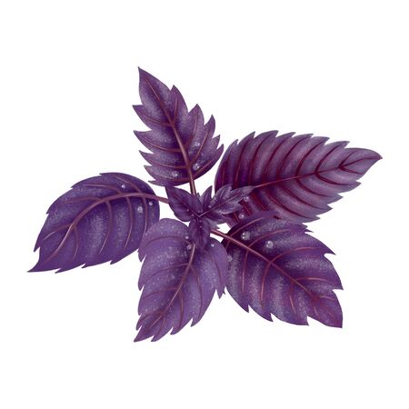 Illustration of a Bundle of red Basil. Purple leaves isolated on white background.