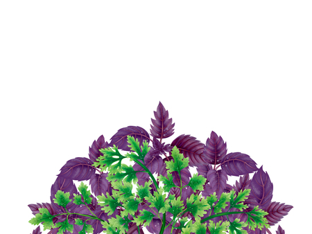 Semicircle wreath of basil leaves and parsley branches isolated on white background.