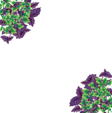 Illustration of a Bundle of Basil and parsley. Decoration for corners. Purple leaves isolated on white background.