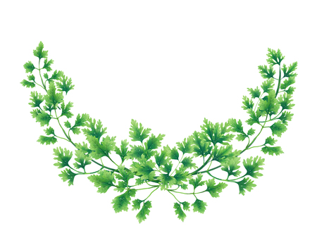 Semicircle wreath of parsley leaves and branches isolated on white background. Banque d'images - 99256155