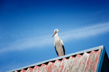 Black and white storks on roof, blue sky background