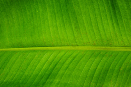 closeup of banana leaf texture