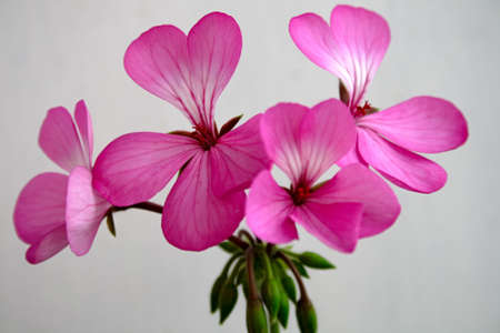 Detail of pink geranium on a blue background.