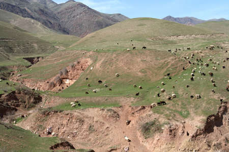 spring  tajikistan: Il gregge di pecore sulla collina in Tagikistan