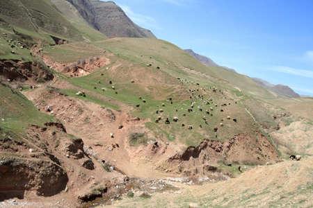 spring  tajikistan: Il paesaggio di Tagikistan con molte pecore in primavera