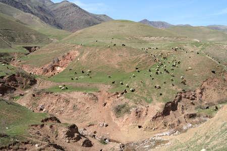 spring  tajikistan: La mandria di bovini in primavera, Tagikistan  Archivio Fotografico