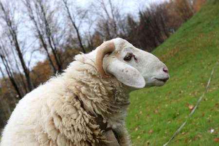 tether: The white sheep on green lawn, autumn Stock Photo
