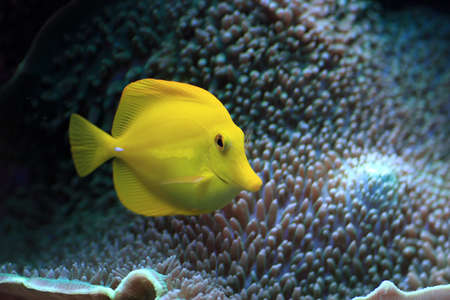 The yellow fish floats in the aquarium photo
