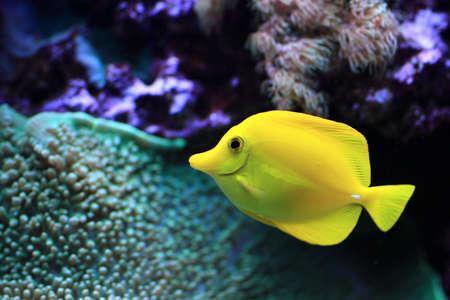escamas de peces: El pez amarillo drifts entre corales en el acuario