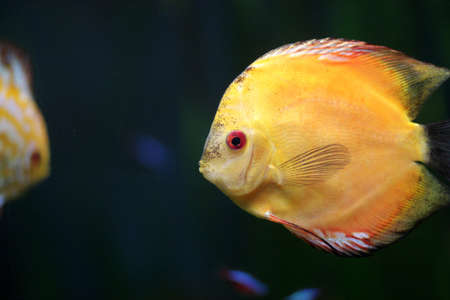 Iy is yellow fish in the aquarium Stock Photo - 7540930