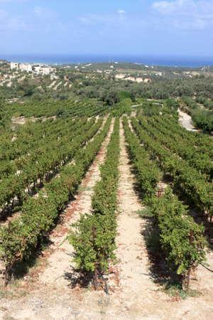 Vineyard in crete on the shore of Mediterranean sea photo