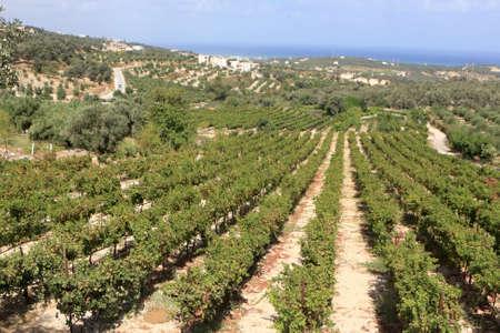 kreta: Der Weinberg in Kreta am Sommer, Griechenland
