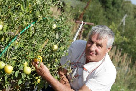 Happy gardener poses near tomato plants in the garden photo