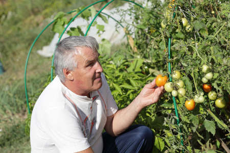 The man holds red tomato in the garden photo