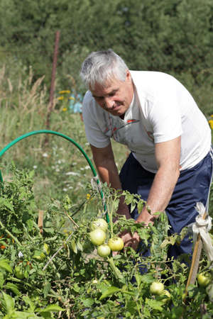 The man takes tomato in the garden photo