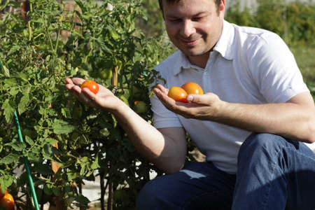 The man inspectes tomatoes in the garden photo