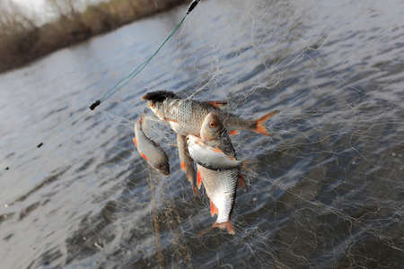 Catching fishes in a fishing net on the river background Stock Photo - 13907228