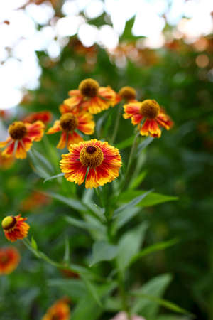 Bed of Rudbeckia hirta flower in a garden Stock Photo - 15069646