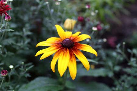 Rudbeckia hirta flower in a summer garden Stock Photo - 15069630