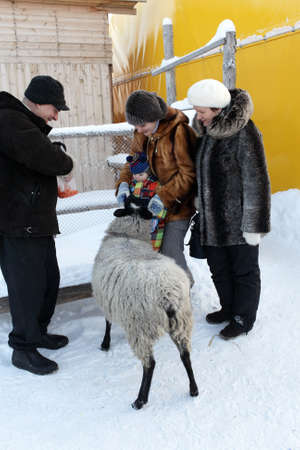 Toddler is feeding sheep on a farm in winter, Tyumen, Russia photo