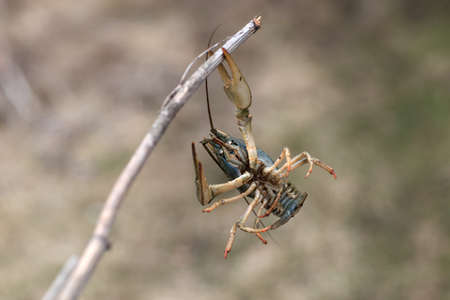 decapods: The crawfish on a twig in spring Stock Photo