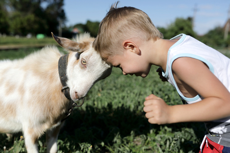 Kid and goat playing through head butting