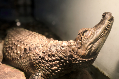View of brown crocodile in the terrarium