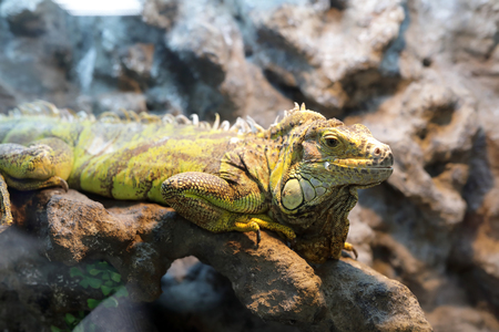 View of iguana on stone in terrarium